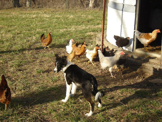 Gracie, learning how to round up chickens to coop them up for the night. It was the only way to keep them safe from predators. She was a natural and loved doing the work.