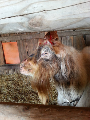 """There is a lot of information available on dairy goat does but only a few mentions about billy goats. Why? Billygoats are about the filthiest and sexually horniest animals on earth and must be separated from the does. Billygoats housing with does gets their """"musk"""" or scent on their fur. Their musk comes from ejaculating on their faces all day, where it festers in the heat, creating a stench. A doe only needs to lay where a billygoat sleeps to get the funk on the does bag. It is tough to remove even with special dairy washes. It can easily contaminate and ruin your milk.   Bucks also need company but will fight when the does are in season. The photo is of the first little buck we brought home. He isn't covered with dirt. That is his sexual attractant for the does. He was disbudded improperly and grew """"scurs"""". Scurs are defectively grown horns from remnants of the horn being left to grow from poor disbudding attempts.   Billys are hard to handle because you will smell like them for days, no matter your washing routine. Bleach or oven cleaner will not even remove it from the skin. I did my best to keep his scurs trimmed with PVC pipe wire cutters, yet each year he would battle until bloody for his chance to mate even though they were housed separately.  Billy goats can also get mastitis. They have nipples that must be checked for infection. I have had to treat billygoats for mastitis (teat infections), which is about the most unpleasant job on the planet. They won't stand for it, but the infection must be drained, and medicine must be infused into the teat for several days in a row.   Nothing will make you feel tougher on a farm than milking a full-size billygoat or giving one a pedicure."""