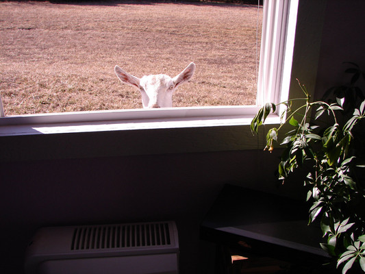 The doe knew I would open the windows in the afternoon while I vacuumed. She would come to the windows looking for snacks. The buck was content doing boy things elsewhere.