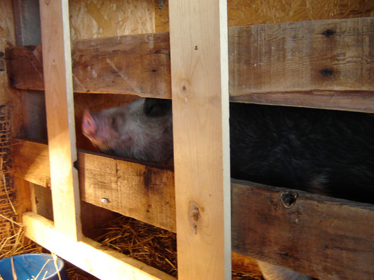 This is the farrowing crate I built because books told me that was what was needed to deliver piglets safely.