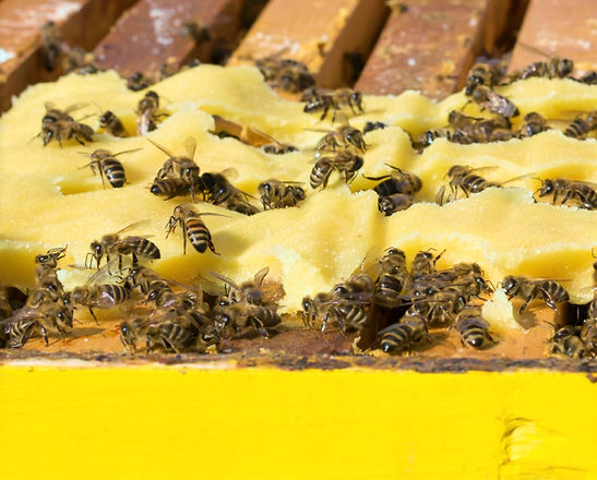 """Bees being fed a """"pollen patty"""" which is made from manufactured bee pollen substitute sugar and wate"""