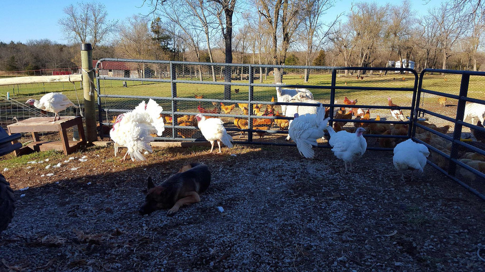 The oversize turkeys waiting for  a bath and having their toes scrubbed clean.