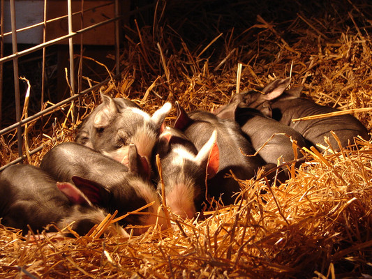 Sleeping warm and sound under the heat lamp. The sow was careful not to hurt her babies by laying on them. She even let them sleep under the lamp instead of hogging it for herself. Animals raised with compassion show compassion to each other.