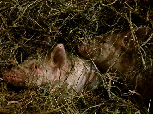 When I brought these two pigs home, they had gaping wounds on their backsides. I treated them with lidocaine, and they hid shivering in the hay for a few days.