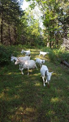 Occasionally, I would take the goats out through the woods on trails to relax and take a break from my busy schedule. The goats loved all of the extra snackings along the way.
