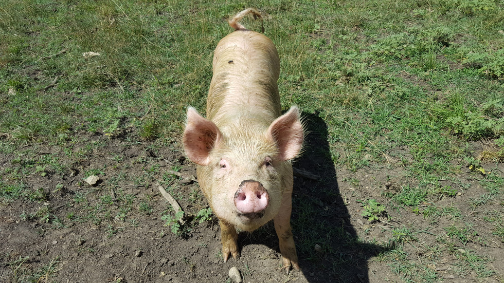 I like to teach my pigs to come when I call them. The last thing you want, is to have to chase down or catch a 225-pound hog.
