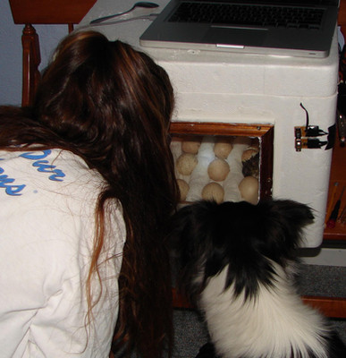 Gracie is like having a little kid that is interested in everything I am doing. Here we are watching a chicken hatch in a homemade hatchery I made. I designed the hatchery to raise the humidity slightly and free up space in my little foam incubator.