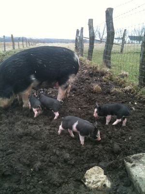 I would move all of the pigs to the cow pasture for the afternoon and move them back in the evening. It kept them from getting bored and made for very happy pigs. They worked the pasture entrance over well, turning it into a muddy area where the barn shed water.