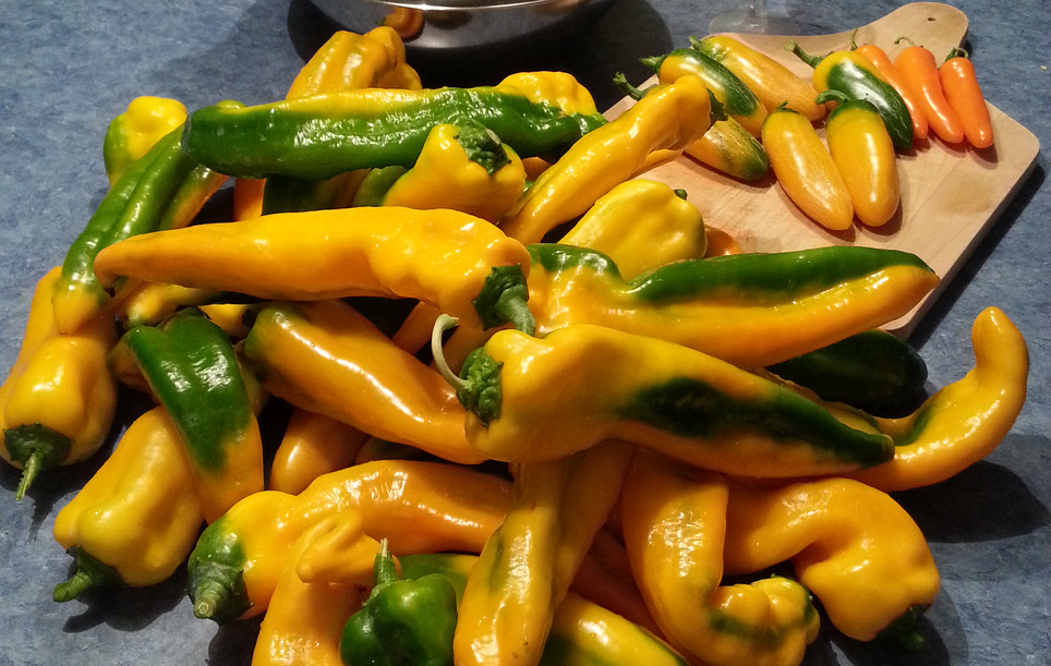 Peppers can be stored for a short time in the freezer without spoiling. For long term storage, they need to be blanched, and ice-bath cooled before freezing. I chop mine with a commercial food chopper to save hours of handwork. Drain and freeze them in small containers before vacuume packaging. They will keep over two years in the deep freezer.