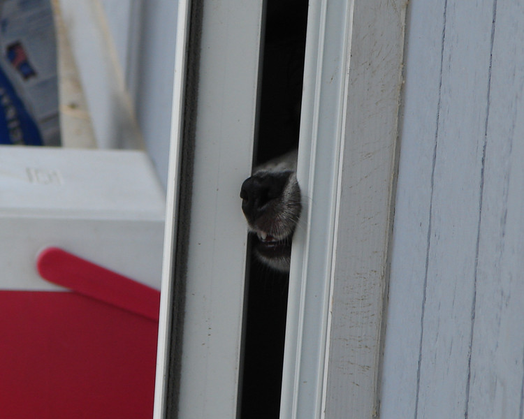 Gracie has a sense of humor and liked to make me laugh. If we were sitting on the front porch, she liked to poke her nose out the door until we noticed and invited her. She knew not to leave the house without me knowing.
