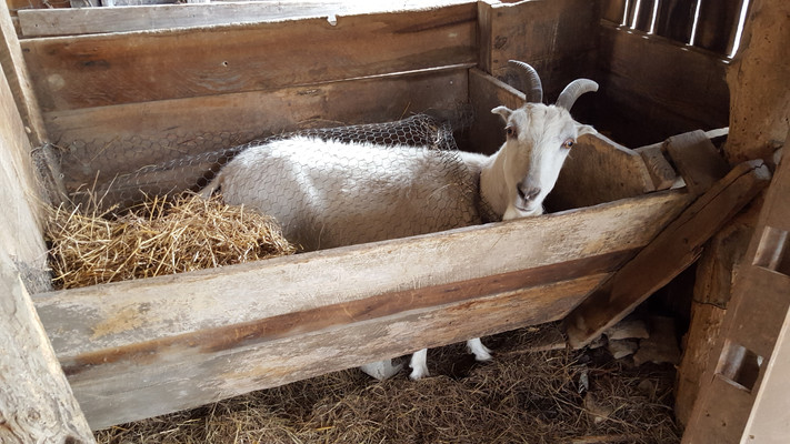 Even grown goats can get into places they shouldn't be. Angel got stuck under the manger. I have no idea how she got under there, and I couldn't get her out.