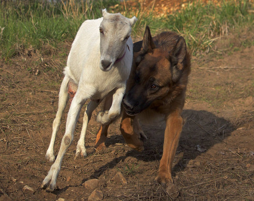 Elvis became an excellent goat herder, which allowed me to take the goats on long walks in the woods.
