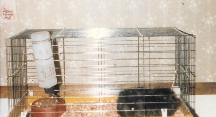 This is my first guinea pig. I felt she was lonely while I was at school all day, so my parents purchased another from a pet shop.   We didn't know that when we bought her, she was pregnant. This led to a boom of guinea pigs. At one time, we had thirteen.