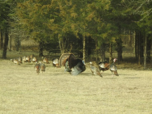 The property had only a few wild turkeys when we moved in. The abundance of fur-bearing predators had wiped out the wild turkey population and killed fawns, so I took the Kansas fur trapping course and obtained my furbearers license.