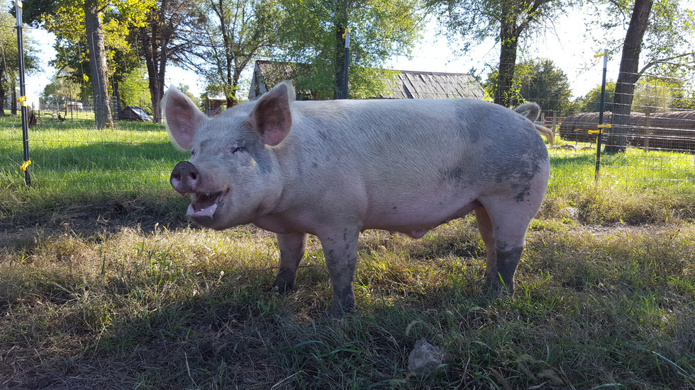 """Hogs on pasture will grow tusks. Never let your guard down, no matter how well you think you know your pigs. They are moody creatures, and some have a sense of humor. I have seen others with a wicked switch that gets flipped if it feels its personal space has been invaded. I had one pig I referred to as """"Danger Sow.""""  They are all very different and taking time to learn their traits makes for easier caretaking. You need to know what you are getting into -take the time to learn and understand your animals' attributes."""