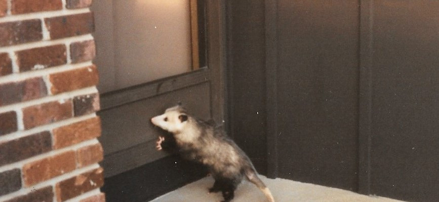My pet possum after she got older. She wasn't fond of being outdoors at first and wanted more than nothing to go back inside to sleep in my bed.