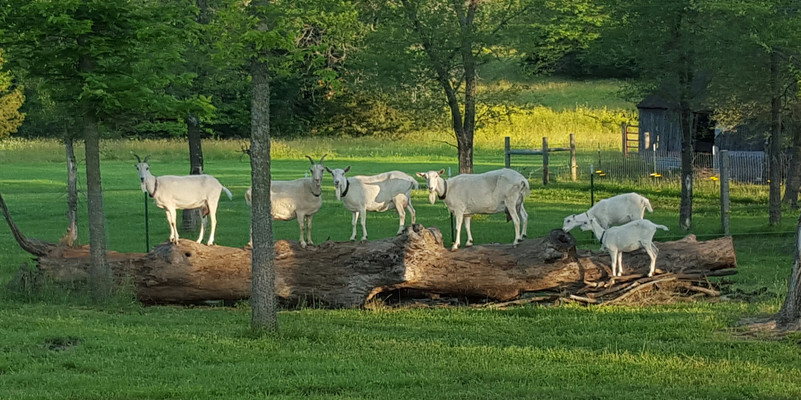 Goats love to climb and enjoy a high vantage point to see. Each morning the does would hang out on the old dead locust tree. They didn't like to get their hooves wet in the morning dew and would wait for the grass to dry.  We had to wrap all of the trees in their pasture with four-foot tall chicken wire to keep them from stripping the bark off and killing them all.  Left to right: Angel, Buttons, Smiley, Winnie, Sippsy, and Gypsy.