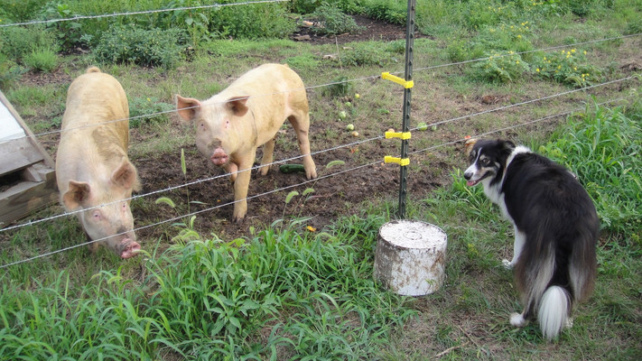 After some basic training to sit, they would come to the fence for their buckets of goat milk, vegetables, and grain. I have never fed a pig bag feed. That goes without saying that I worked hard to provide them a more balanced diet than just oats and milo.