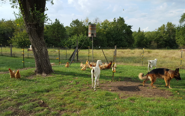 The hotwire around the feeder worked great! Chickens in. Goats out!