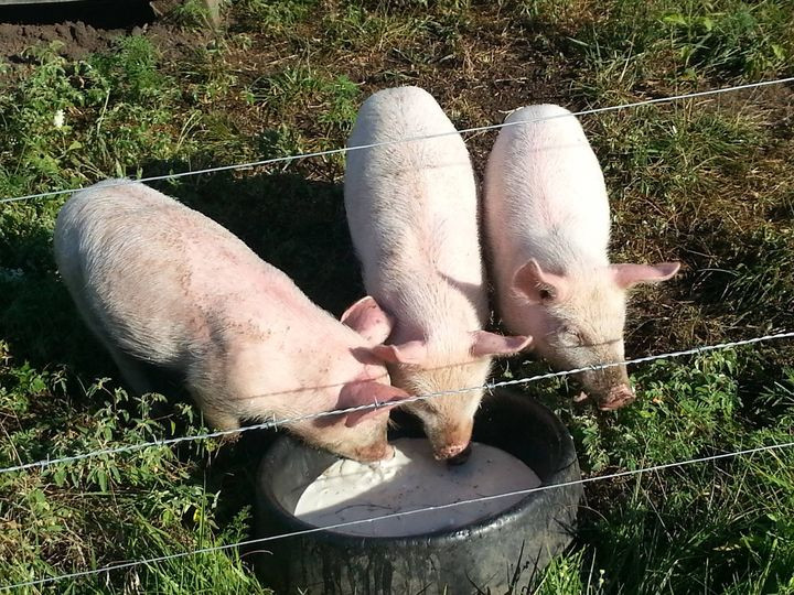 Keeping your pig from getting bored with feed is another way to keep them from escaping or from growing mean. I regularly supplement our pigs with different kinds of garden vegetables, milk...when I have it, and eggs.  Kitchen scraps are for chickens and the compost pile.