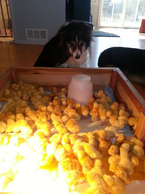 Old habits die hard. Here I am rearing 160 chicks in the house. I was concerned that the barn would be too cold, so I started them off in the living room next to the woodstove. Gracie and I loved watching the chicken show.