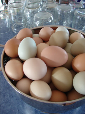 If you want beautiful pastel-colored eggs, you need to raise Araucana chickens. The color of the egg does not affect the flavor. Flavor and texture is affected by feed and care of the poultry.