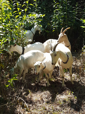 Goats will browse heavily on long walks. A word of advice is to take them before feeding time. A full goat has little interest in pasturing back up unless there is grain involved.  I liked to walk our does for fresh brows to make us healthier milk from the abundance of grasses and weeds here in Kansas.