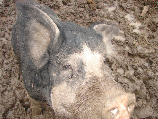 The boar, Duke, in his wallow. I did my best to give them a good life while they were in my care.