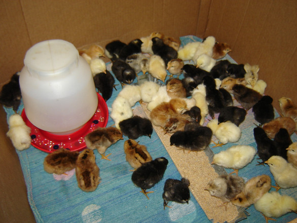 My first batch of barnyard chickens. Eighty-two chicks take up a minimal amount of space. (A few may be out of the photo in the front corner.)