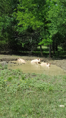 I enjoyed caring for the pigs and keeping them comfortable. They had a nice size wallow all summer to stay cool and to help keep the bugs off.