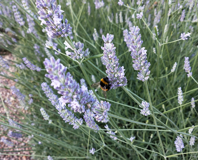 How to gather your own lavender and use it for crafts and cooking.