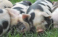 Sleeping kunekune piglets stock photo.jp