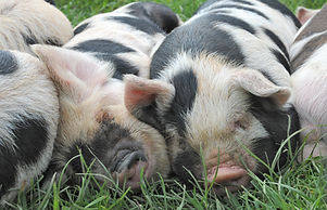 Sleeping kunekune piglets stock photo.jp