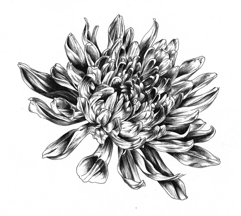 crysanthemum.jpg