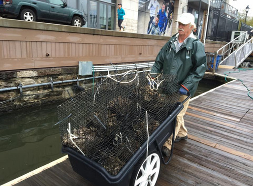 Harbor East Marina Joins the Great Baltimore Oyster Partnership