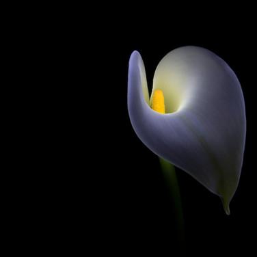 Lily Light Painting (c) Brenda Lupton