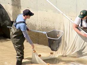 WRECO Helps Restore Steelhead Trout to Lower Alameda Creek