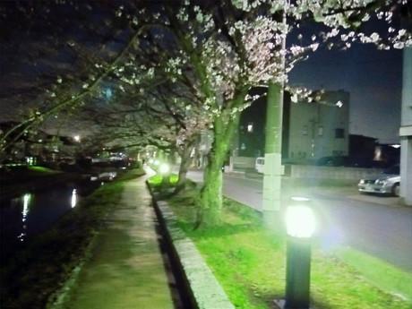 夜桜と夜犬