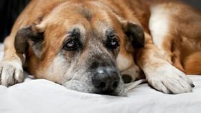 ¡ Socorro! Mi perro tiene artrosis!