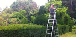 Yew Topiary trimming