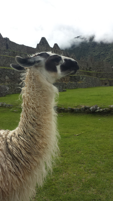 Lhama - Machu Picchu, Peru