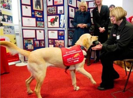 Koronavirüs: Köpekler sadece 6 hafta sürecek bir eğitimle virüsü koklayarak tespit edebilir