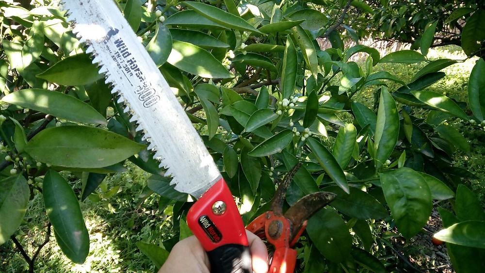 poda de naranjas ecológicas. laventanahortelana.com