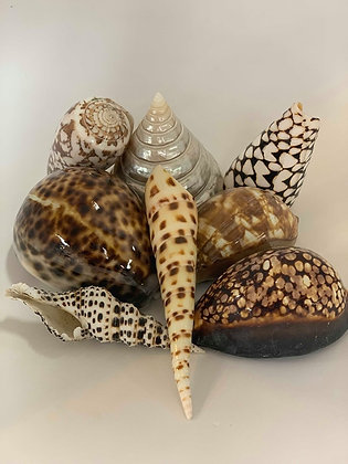 Assorted Shells- 8 pieces