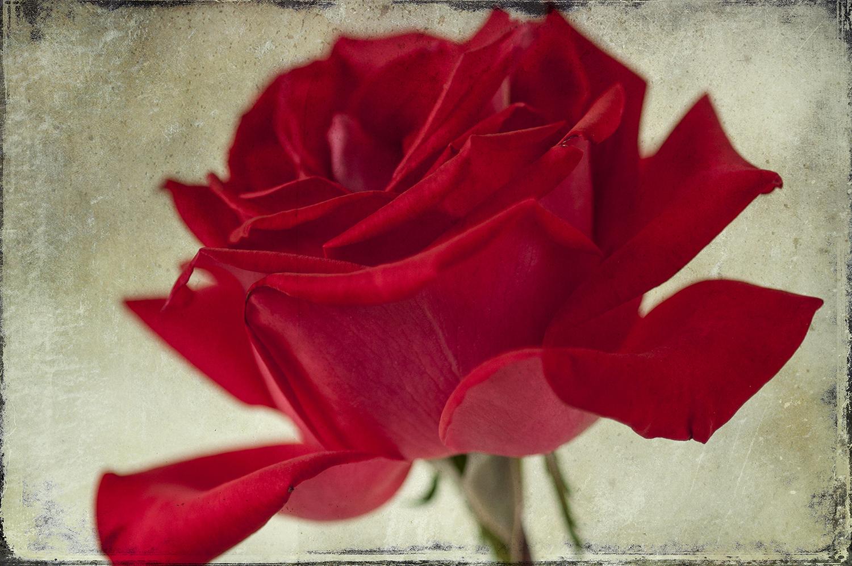 Red Rose Panel 1