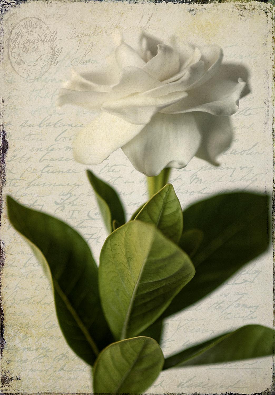Gardenia Grunge 1