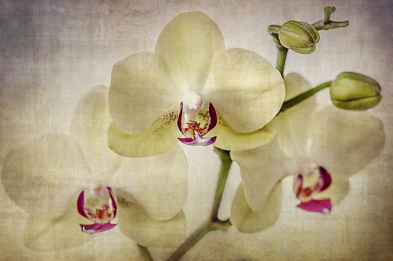 CU Pale Orchids