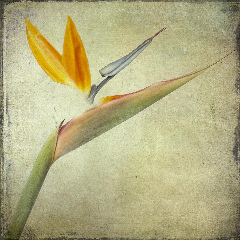 Xray Bird Of Paradise Tinted