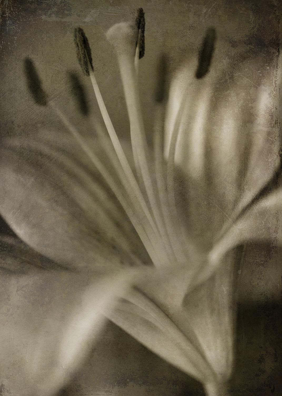 Lily 2 Sepia