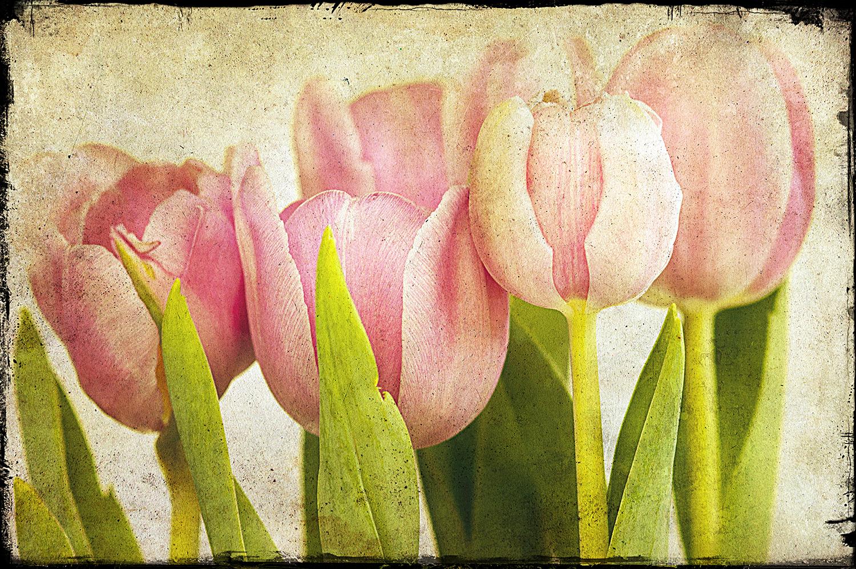 Pink Tulips CU